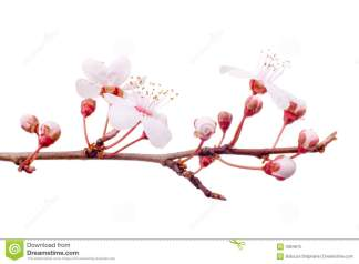 spring-plum-tree-branch-4354675